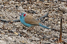 Red-cheeked Cordon-bleu (10745403966).jpg