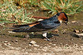 Red-rumped Swallow (Hirundo daurica) collecting mud for nest W IMG 7985.jpg