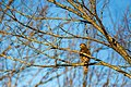 Red-shouldered hawk (40179633822).jpg