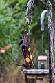 Red-winged blackbird (31970362237).jpg