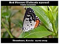 Red Pierrot (Talicada nyseus)1 (15070685005).jpg