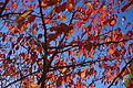 Red leaves, blue sky (10779260463).jpg