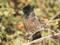 Red vented Bulbul- nominated race at Bharatpur- I IMG 8492.jpg