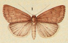 Reddish Buff Moths of the British Isles.jpg