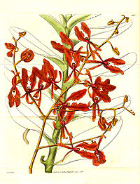 Renanthera coccinea (1830).jpg
