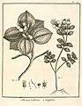 Rhexia villosa Aublet 1775 pl 129.jpg