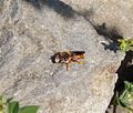Rhodanthidium sticticum .male - Flickr - gailhampshire.jpg