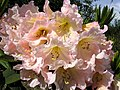 Rhododendron Maryke.jpg