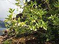 Rhododendron albiflorum (9515393763).jpg