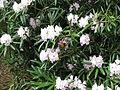 Rhododendron makinoi (5662646534).jpg