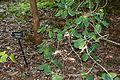 Rhododendron orbiculare - VanDusen Botanical Garden - Vancouver, BC - DSC06998.jpg