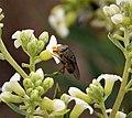 Rhyncomya columbina. Rhiniidae. Calliphoridae (28146664959).jpg