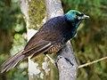 Ribbon-tailed Astrapia female. (Astrapia mayeri) (48889642433).jpg