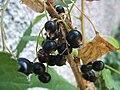 Ribes nero.jpg