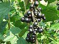 Ribes nigrum a1.JPG