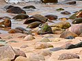 Ringed Plover at Gairloch.jpg