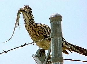 Roadrunner - Greater roadrunner with a lizard
