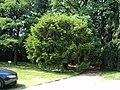 Robinia - panoramio (1).jpg