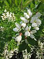 Robinia pseudoacacia 10.jpg