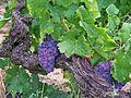 Rochefort du Gard - Vignes 7.jpg