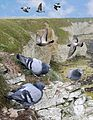 Rock Dove from the Crossley ID Guide Britain and Ireland.jpg