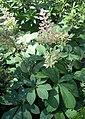 Rodgersia aesculifolia.jpg
