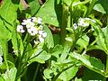 Rorippa nasturtium-aquaticum Inflorescencia 2011-5-22 SierraMadrona.jpg