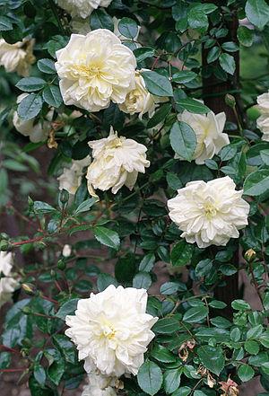 "Rosa 'Albéric Barbier' - Image: Rosa ""Albéric Barbier"", hybr. Wichuraiana, sect. Synstylae (Real Jardín Botánico de Madrid 1988)"