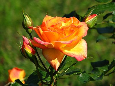 Rosa 'Sahara' 01.jpg