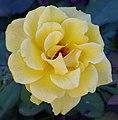 Rosa Henry Fonda.jpg