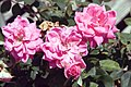 Rosa Pink Double Knock Out 0zz.jpg