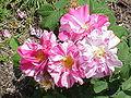 Rosa gallica7.jpg