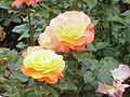 Rosa sp.206.jpg