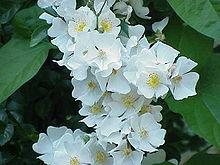 اسماء الورود بالفرنسية Liste espèces