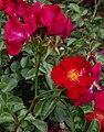 Rosarium Baden Rosa 'Alcantara' Noack 1998 03.jpg