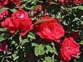 "Rose ""Waldfee"" in Bad Langensalza.jpg"