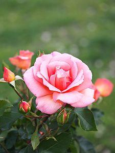Rose Zambra '93 バラ ザンブラ 93 (8754937411).jpg