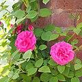 Rose Zephirine Drouhin バラ ゼフィリーヌ ドルーアン (14231776580).jpg