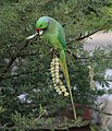 Rose ringed parakeet feeding.jpg