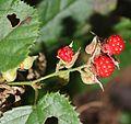 Rubus buergeri (fruits s6).jpg