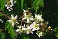 Rubus idaeus ENBLA02.jpg