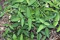 Rubus illecebrosus s4.jpg