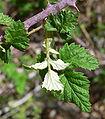 Rubus leucodermis 3.jpg