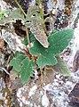 Rubus reflexus 62280902.jpg
