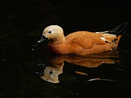 Ruddy shelduck in Moscow Zoo.JPG
