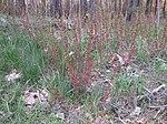 Ruhland, Grenzstr., Waldrand gegenüber Hausnr. 3, Mandelstrauch mit Blütenknospen, Frühling, 03.jpg