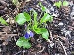 Ruhland, Grenzstr. 3, Duftveilchen im Garten, blau blühend, Frühling, 16.jpg