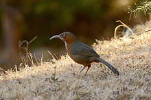 Rusty-cheeked scimitar babbler, Pangot, Uttarkhand, India.jpg