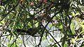 Ruwenzori Turaco - leaping from tree to tree.JPG
