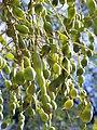 S.japonica-frutos-1.jpg